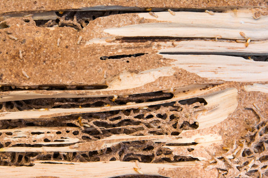 Close up termites nest background. Termites with termites nest and wood texture