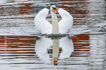 Foto auf Gartenposter Schwan swan on the lake