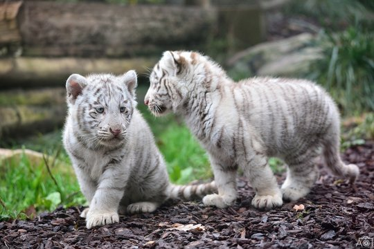 Close-Up Of White Tiger Cubs On Land