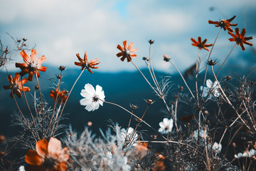 Fresh cosmos flower in the nation park with film tone