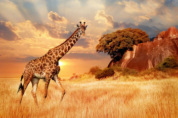 Wall Murals Giraffe Cheetahs in the African savanna against the backdrop of beautiful sunset. Serengeti National Park. Tanzania. Africa.