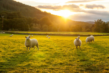 Deurstickers Schapen sheep in a field highlands scotland