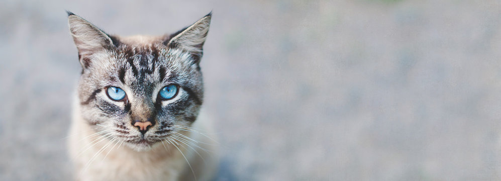 Banner design - cat  with blue eyes