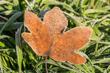 Closeup shot of a frozen brown maple leaf on green grass in winter covered by beautiful ice crystals