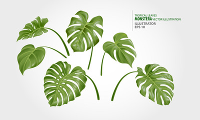 Leaves of monstera vector set. This plant lives in the humid tropical forests, in the lowlands and middle mountains.