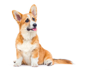 Wall Mural - cute welsh corgi puppy looking up on a white background