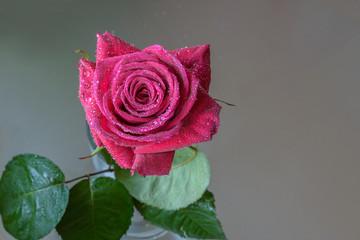 Purple rose in water drops