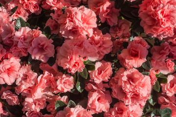 Azalea japonica pink flowers ( Rhododendron )