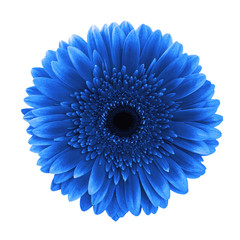 Foto op Canvas Madeliefjes Blue gerbera daisy flower isolated white background clipping path