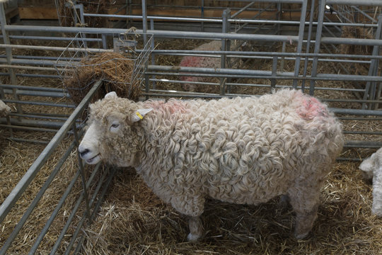 Devon and Cornwall Longwool sheep a rare breed from the south west of England