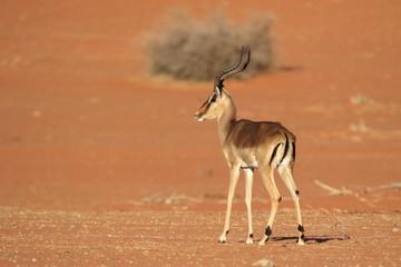 Wall Murals Antelope Impala Namibia