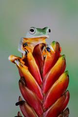 Wall Mural - Flying frog on green leaves, beautiful tree frog on branch, rachophorus reinwardtii, Javan tree frog on red bud
