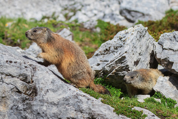 Wall Mural - Alpine marmot (Marmota marmota) on rock