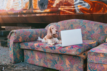 Lifestyle portrait of lovely senior cocker spaniel dog lying on old couch in front of laptop with rusty metal graffiti wall on background.