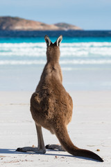 A kangaroo contemplating life on the beach at Lucky Bay in the Cape Le Grand National Park, near Esperance, Western Australia