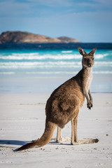 Foto op Plexiglas Kangoeroe A single kangaroo on the beach at Lucky Bay in the Cape Le Grand National Park, near Esperance, Western Australia