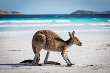 Foto op Aluminium Kangoeroe A single kangaroo on the beach at Lucky Bay in the Cape Le Grand National Park, near Esperance, Western Australia