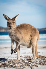 A kangaroo portrait on the beach at Lucky Bay in the Cape Le Grand National Park, near Esperance, Western Australia