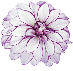 Foto op Canvas Dahlia white-purple flower dahlia on white isolated background with clipping path. no shadows. Closeup. Nature.