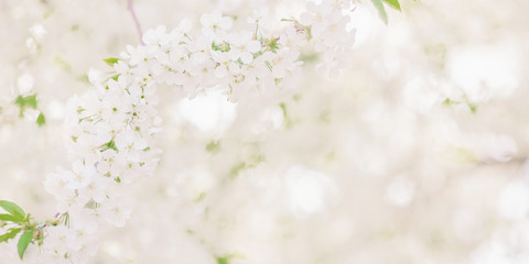 Cherry branch with white flowers. Spring blooming tree background. Nature backdrop. Blooming spring cherry plant in park. Blossom sakura in garden. Beautiful flowers. Enchanting nature background