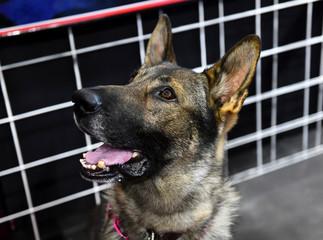 Dog photography, German Shepherd Dog isolated