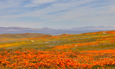 Orange poppies and yellow flowers blooming throughtout the valley with purple mountains in the background
