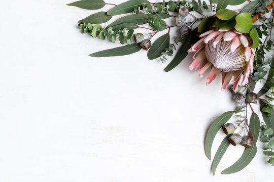 Beautiful pink King protea surrounded by Australian native eucalyptus leaves and gum nuts, creating a floral border, photographed from above, on a white background.