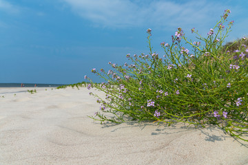 Wall Mural - Wild grass on Baltic sea beach in summer.