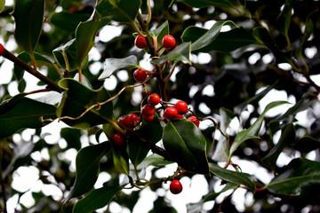 Hermoso primer plano de una rama de acebo con semillas rojas, sobre fondo natural con efecto bokeh.