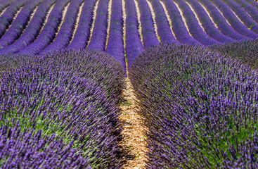 Fragment of a lavender field with picturesque bushes of lavender. France. Provence. Plateau...