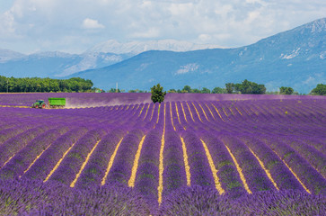 Picturesque lavender field against the backdrop of mountains in the distance. France. Provence. Plateau Valensole.