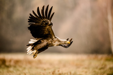 Foto op Plexiglas Eagle Isolated white tailed eagle with fully open wings