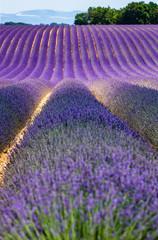 Picturesque lavender field. France. Provence. Plateau Valensole.