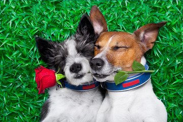 Tuinposter Crazy dog couple of dogs in love very close together lying on grass in the park with rose in mouth