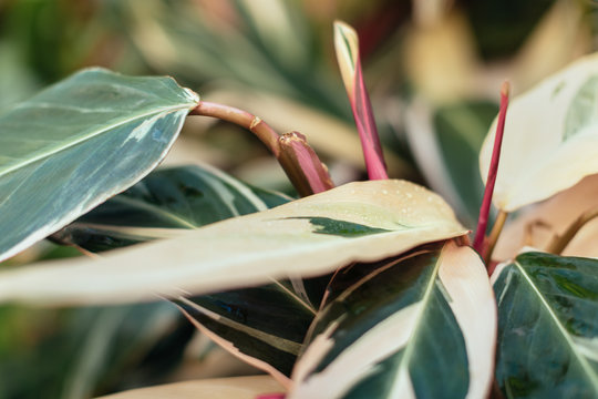 Close up photo of leaves of Stromanthe sanguinea plant. Green leaves of plant from family Arrowroot originally from Brazilian rainforest. Gardening concept. Plant needs a humid tropical climate.