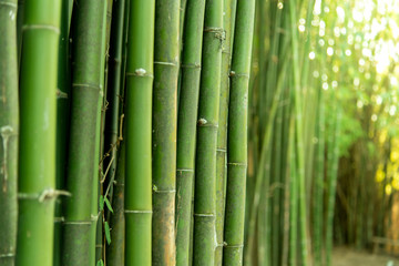 Poster de jardin Bambou Green Bamboo stems in the garden park