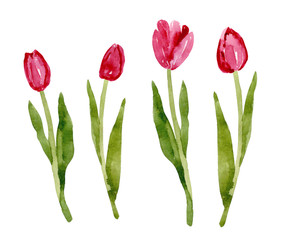 Watercolor tulip isolated on white background. Floral hand drawn illustration. Elegant spring collection of flowers.