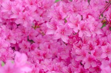 Blooming pink azalea. Spring blurred background. Tender flower. Many pink flowers. Azalea flowering bush.
