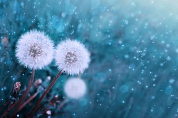 Foto op Canvas Paardenbloem Close up of blooming white dandelion flower .Flowers background.