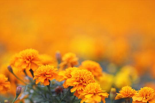Marigolds Tagetes erecta, Mexican marigold, Aztec marigold, African marigold