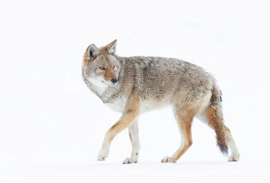 A lone coyote (Canis latrans) closeup in winter snow in Canada