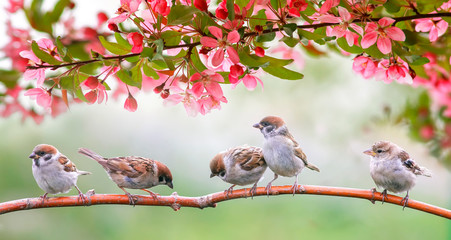 Fototapeta little birds sparrows may sit in the Sunny garden among the flowering branches of pink Apple obraz