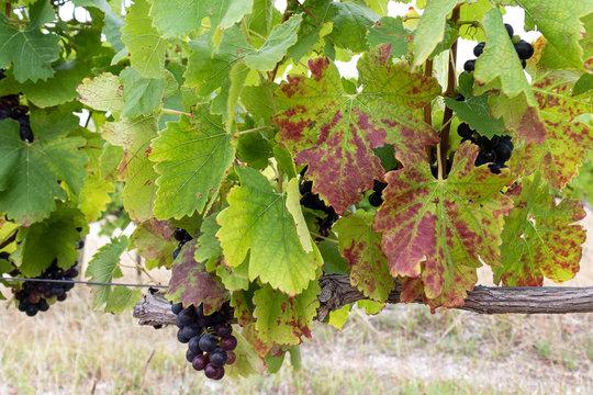 Signs of grapevine leafroll virus on vine leaves.