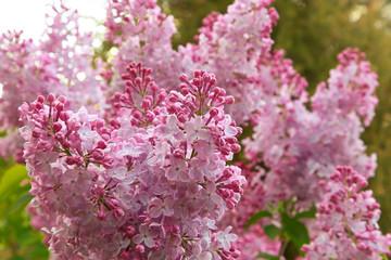 Printed kitchen splashbacks Lilac pink lilac in the garden