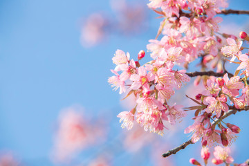 Deurstickers Kersenbloesem Soft focus Cherry blossoms, Pink flowers background.
