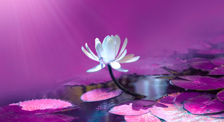 Foto op Canvas Waterlelies Water lily in pond. Violet color nature background.