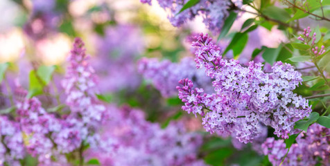 Wall Murals Lilac Lilac spring flowers bunch. Beautiful blooming violet lilac flower in a garden, closeup. Spring blossom
