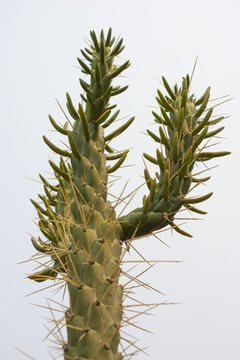 Low angle shot of an Eve's needle cactus showing off its long pointed spines