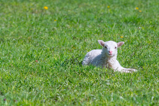 Cute Lamb happy smiling in grass field- Baby lamb laying down in isolated green grass in the field of the countryside.