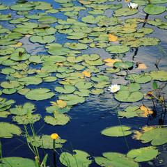 Foto op Canvas Waterlelies Water lily bloom in the lake. Kenozersky Park.